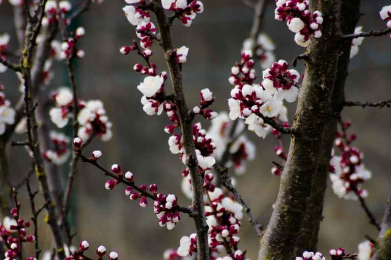 depth of field photography of cherry blossom tree