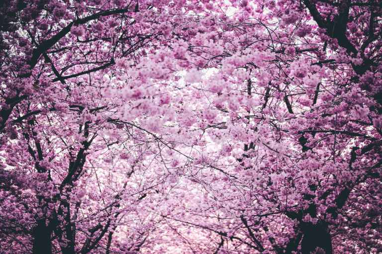 pink flowers on trees